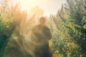 A man's silhouette walking through a hazy row of tall cannabis plants