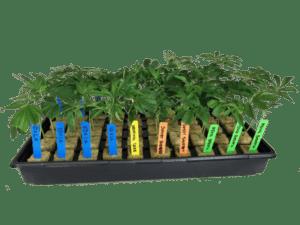 Cannabis clones