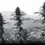 Cannacraft outdoor cannabis farm
