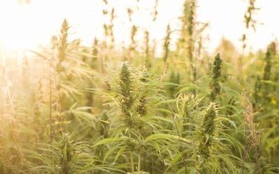 Sungrown cannabis farm