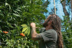 Flow Kana man checks cannabis plant