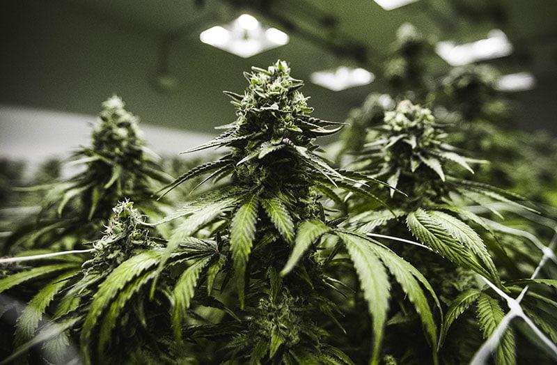 Claybourne Cannabis Plant