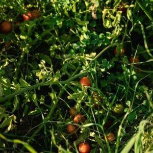 Fruit Terpenes